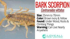 Facts About Arizona Bark Scorpion